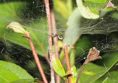 Ecology and Evolution of Cognition in Spiders